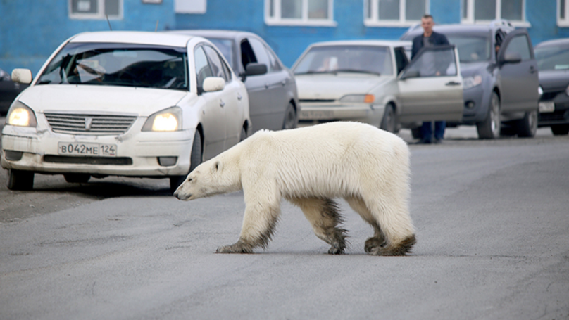 Starving Polar Bear Seen Searching Streets For Food After Getting Lost