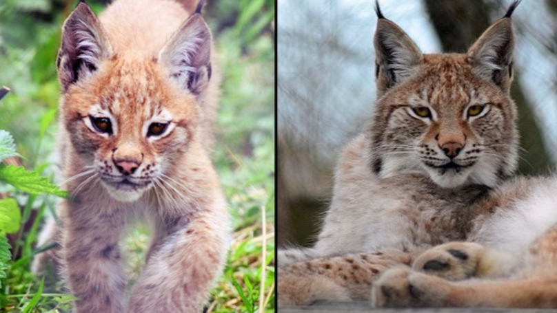 Lynx That Escaped From Wildlife Park Has Been 'Humanely Destroyed'