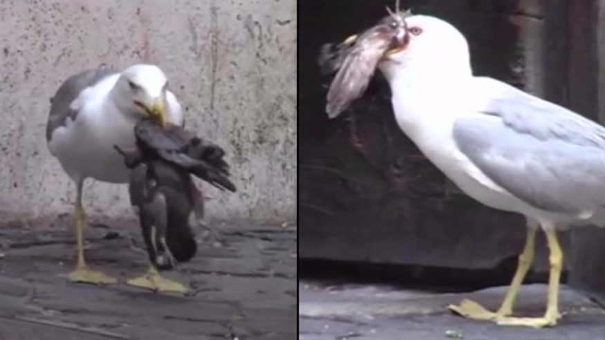 Monster Seagull Swallows Pigeon Whole After Pecking Creature To Death In Horrifying Footage