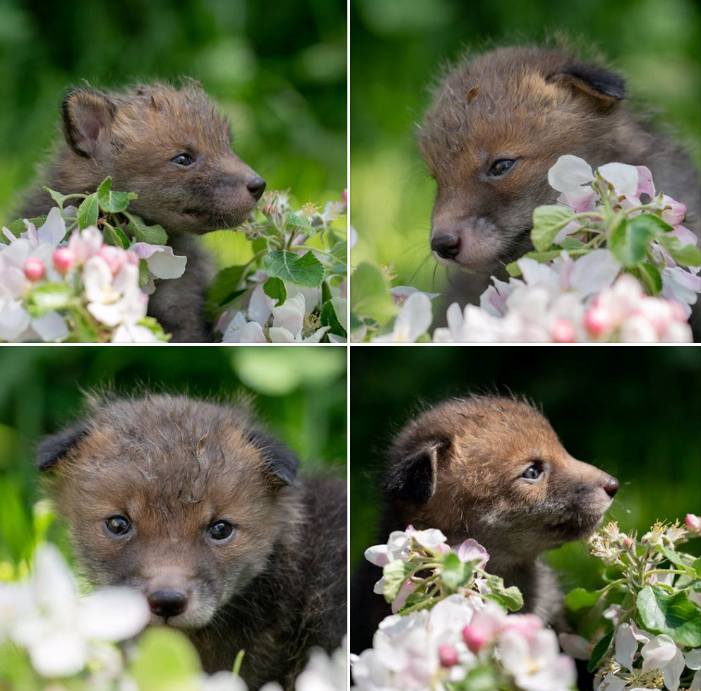 The four foxes are doing well and will hopefully be released into the wild when they are six months old. Credit: SWNS