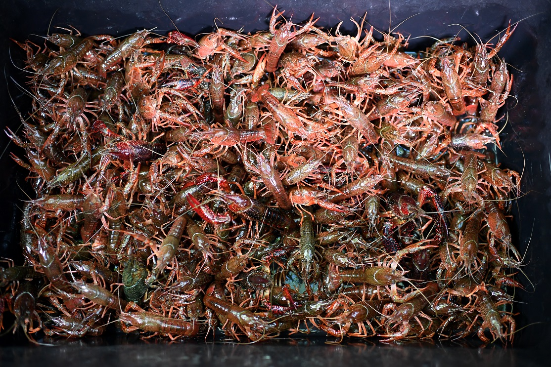 Crayfish's desperate bid to escape becoming Chinese meal pays off