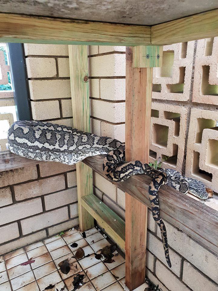 Python devours family cat. Credit: Facebook / Brisbane Snake Catchers