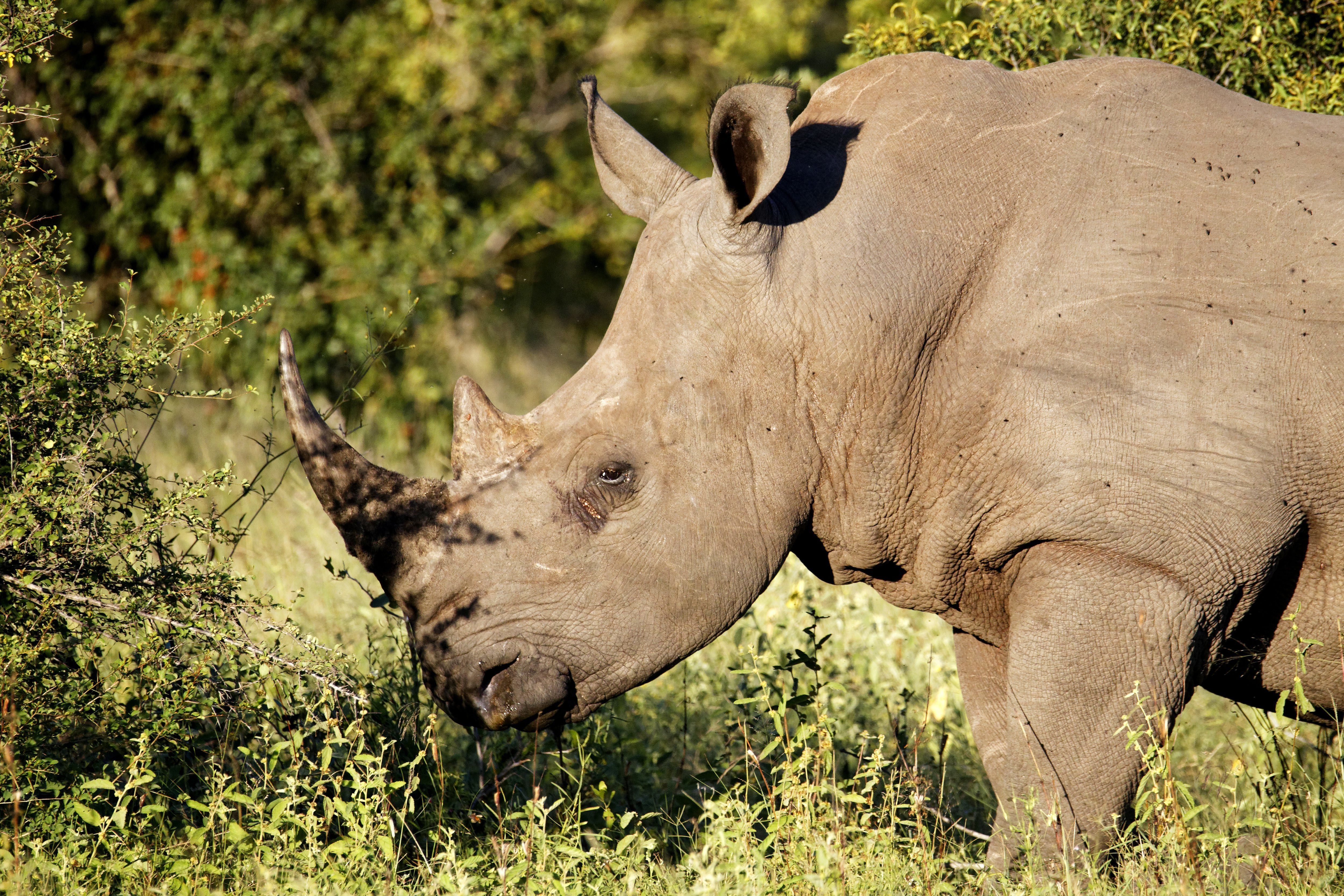 A rhino in Kruger National Park. Credit: PA