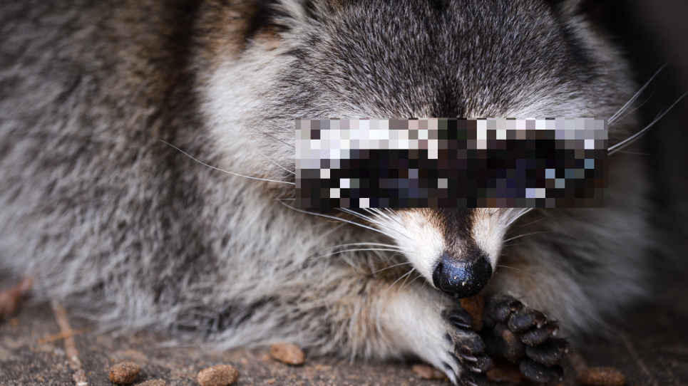 Woman Takes Pet Raccoon To Fire Station Because It's High On Weed