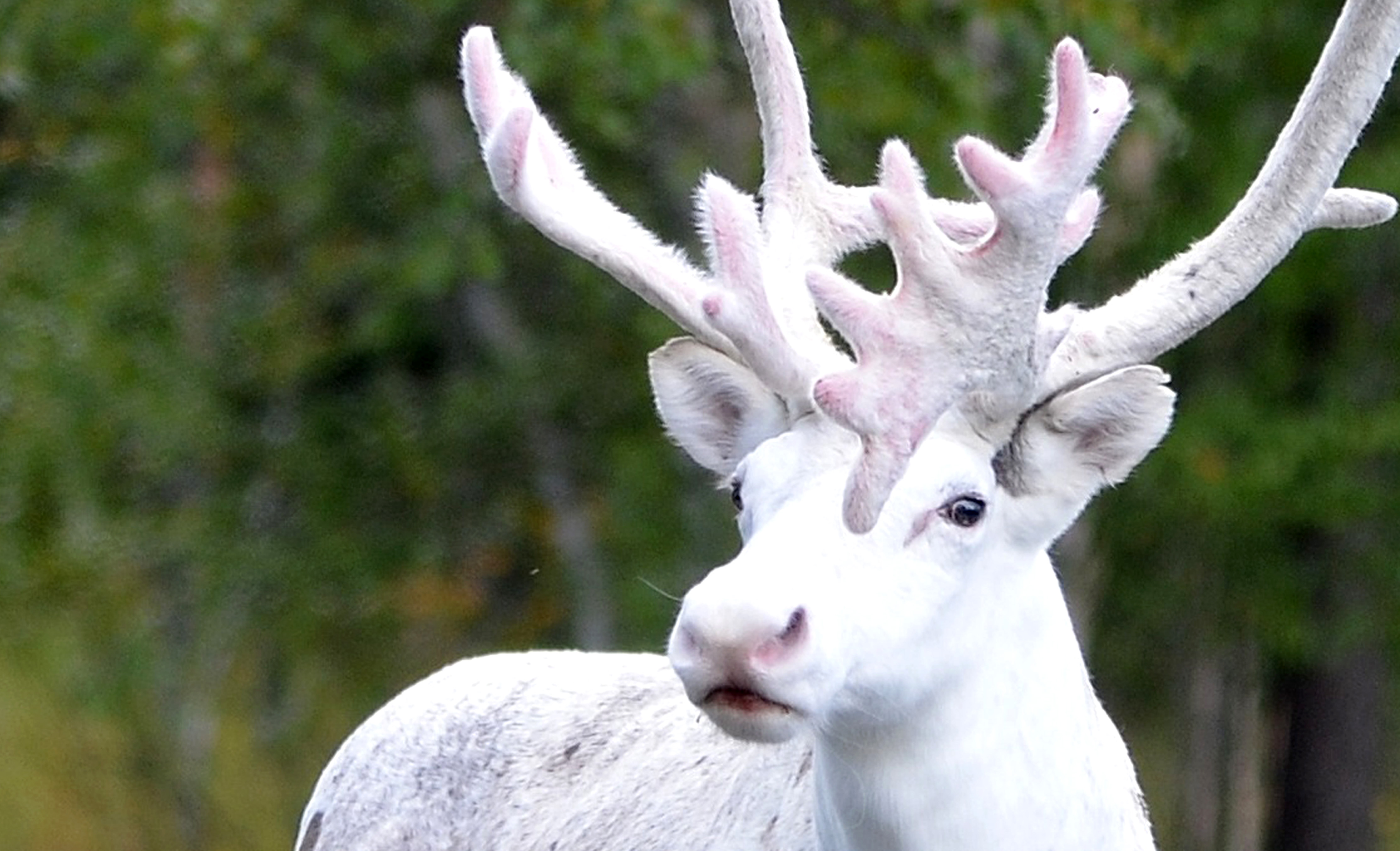 An adult male reindeer was spotted in Sweden in 2016. Credit: Caters
