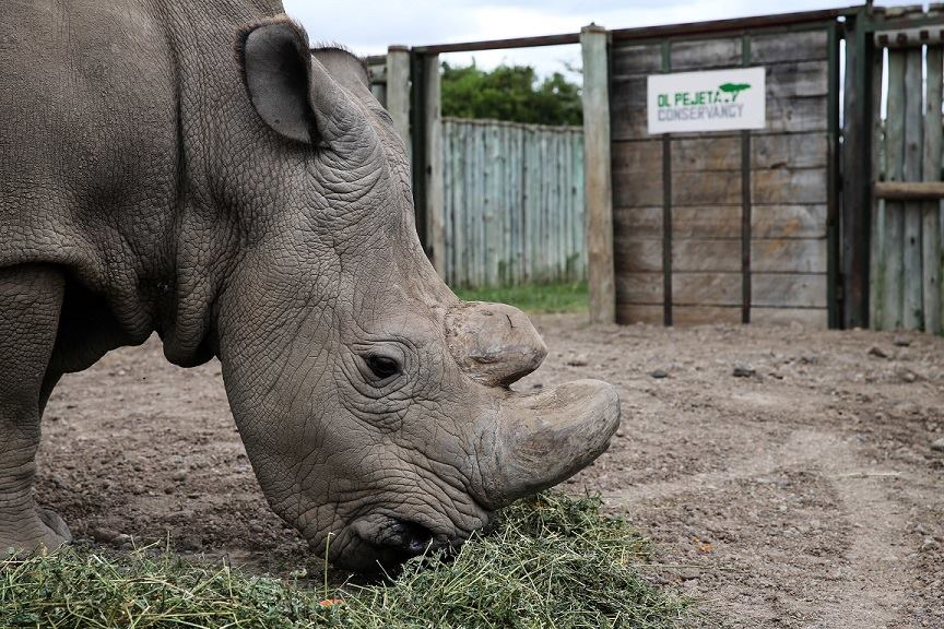 World's last male northern white rhino, Sudan, dies after 'age-related complications'