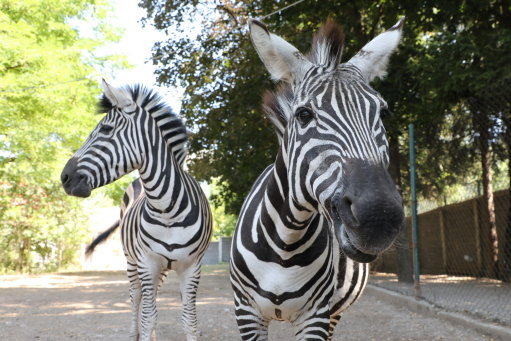 Zoo accused of painting donkeys to look like zebras