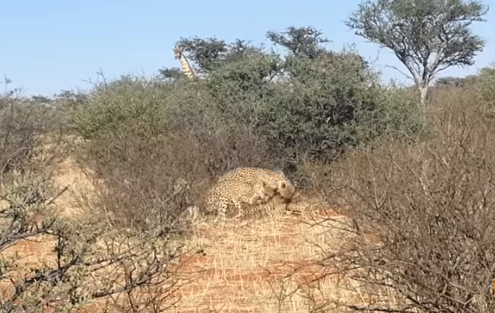 The female manages to fight the two males off. Credit: YouTube / Kruger Sightings