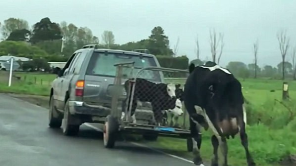 Mother Cow Chases After Calves Being Taken Away In Heartbreaking Video