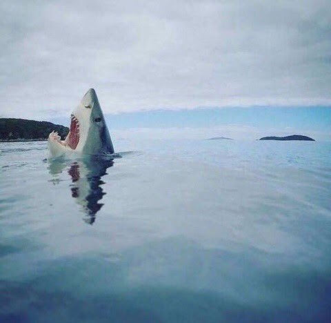 Rare photo of a shark stepping on LEGO.
