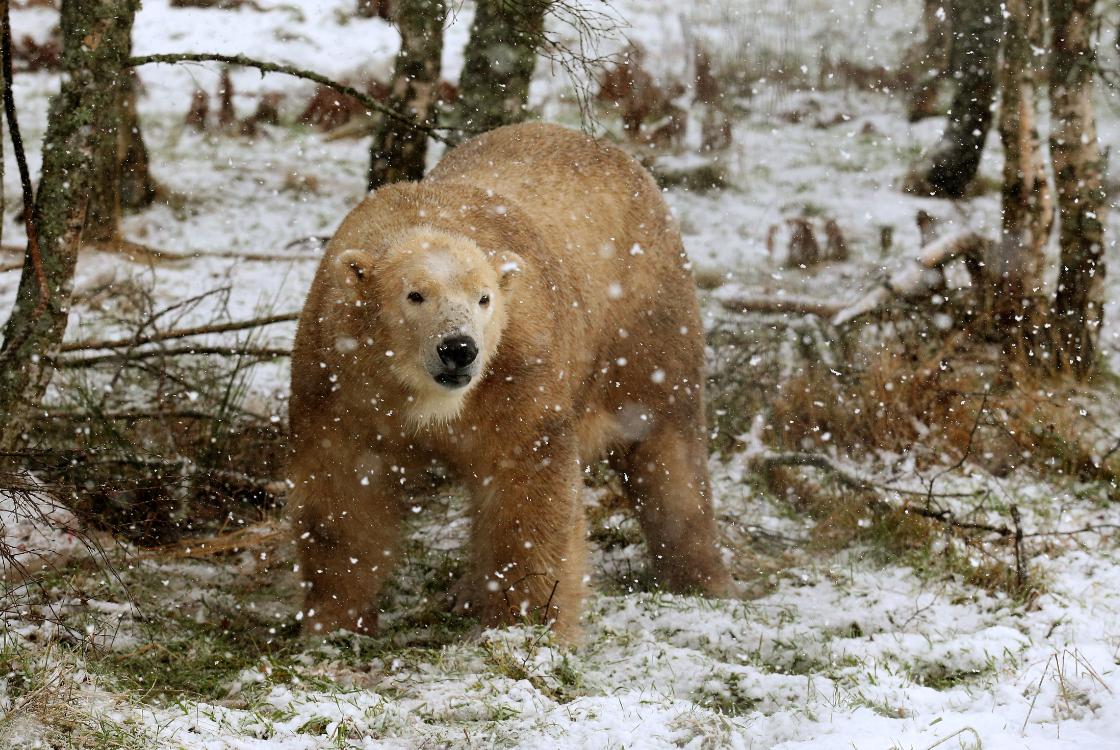 The cub's dad, Arktos. Credit: PA