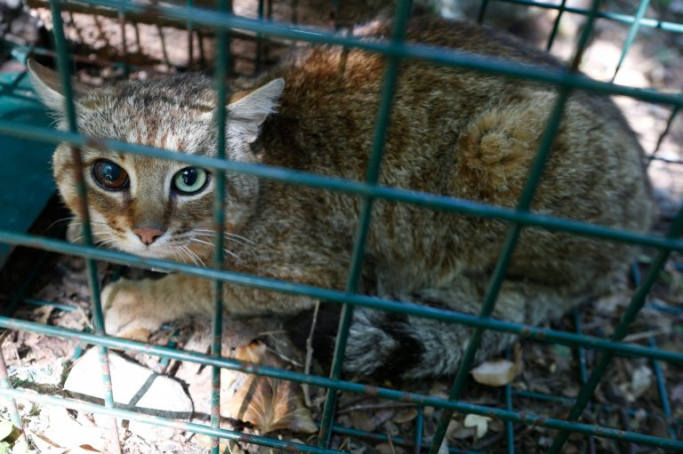 Cat-fox discovered on European island in rare find