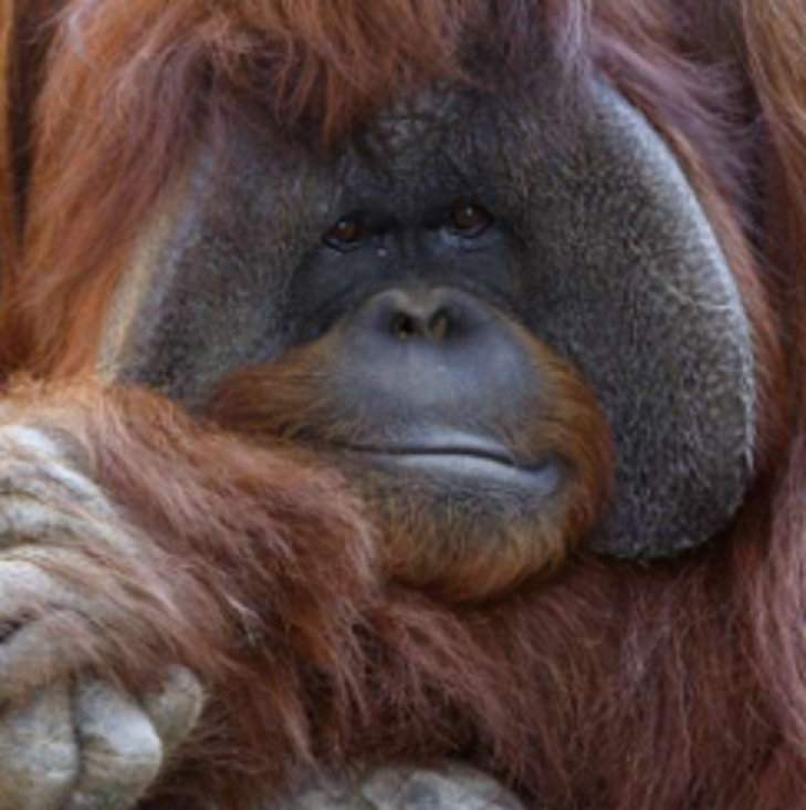 Chantek, the United States orangutan who used sign language, dies aged 39