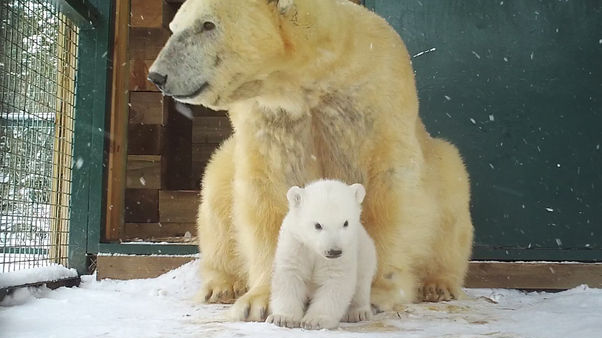 ​First Polar Bear Cub To Be Born In 25 Years In UK Emerges From Den