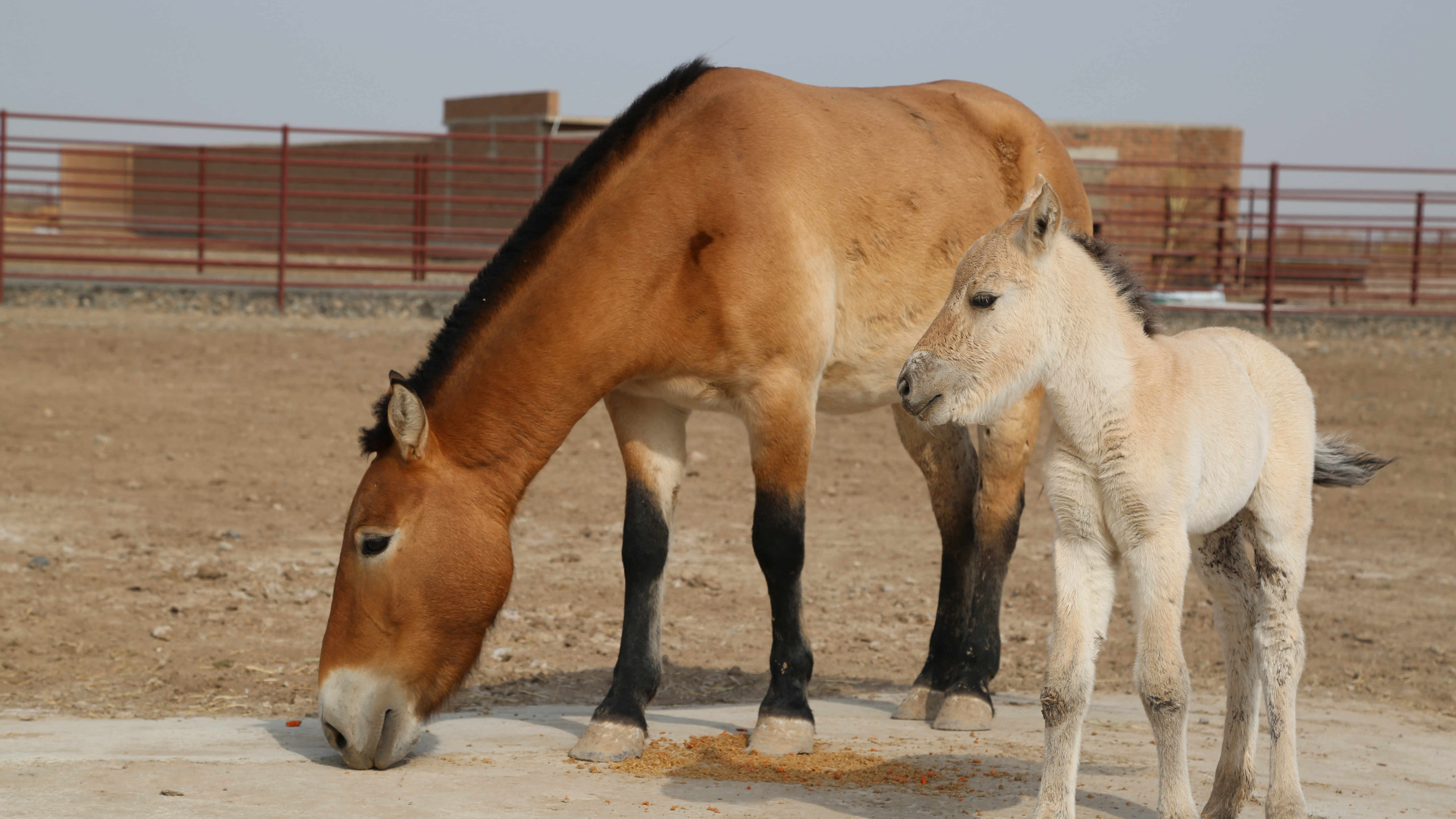 DNA Study Reveals Wild Horses Are Extinct