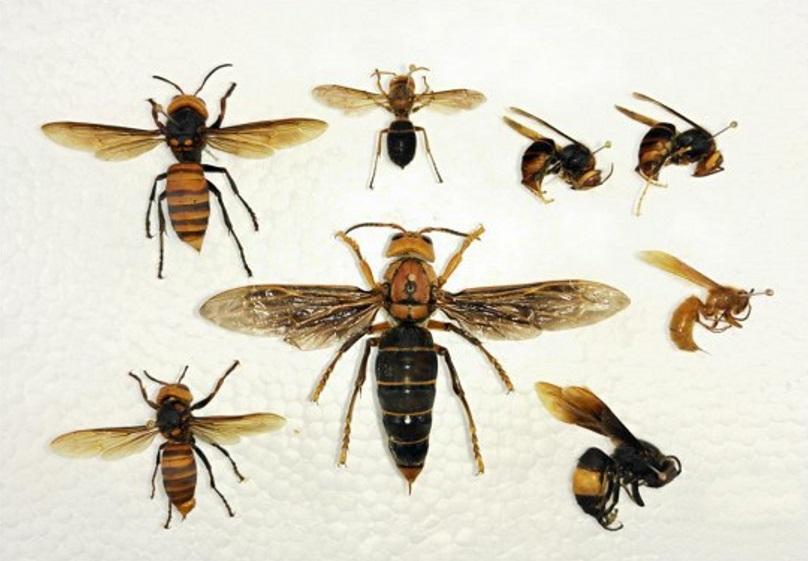The giant hornet has reportedly killed numerous people. Credit: Asia Wire