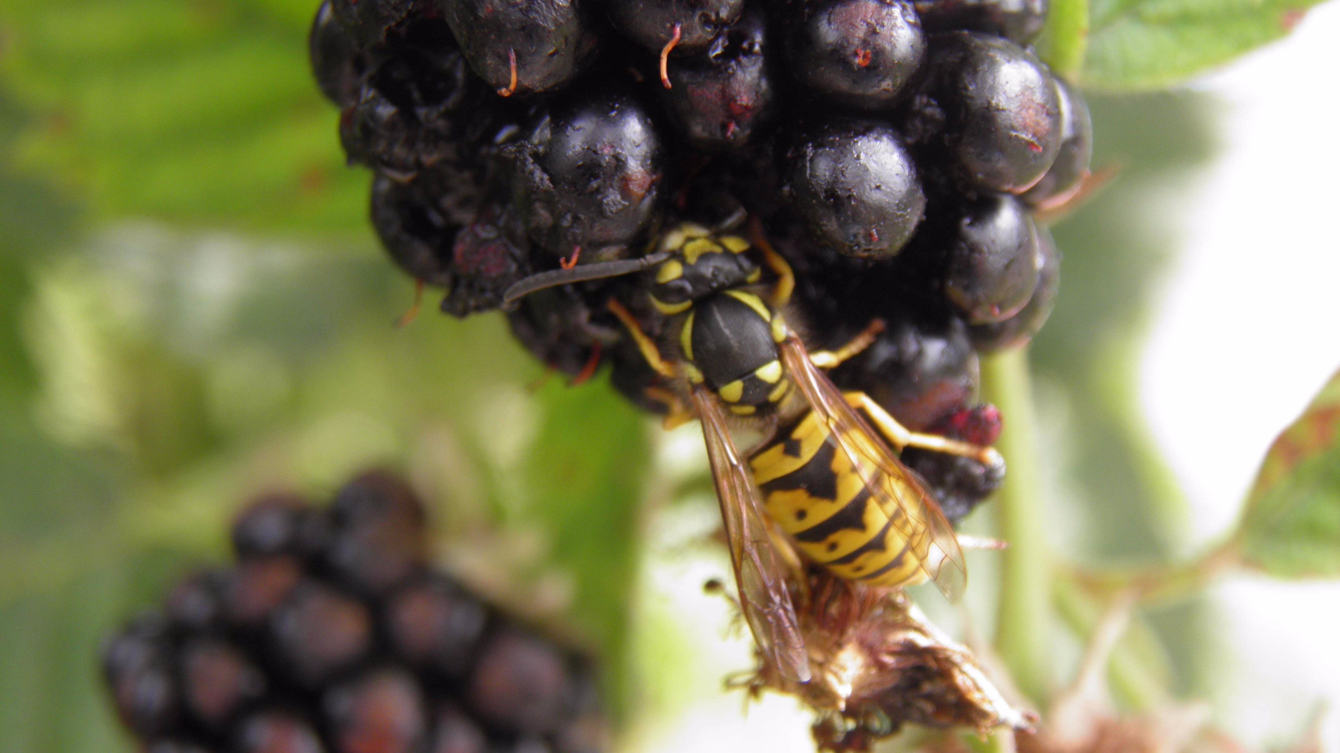 'Super' Wasps Who Sting You Repeatedly Set To Ruin Your Summer