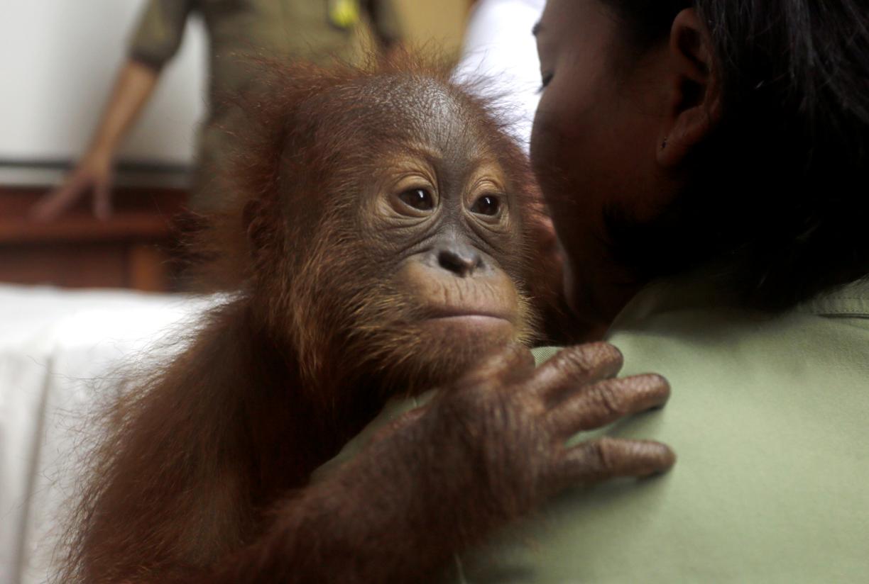 The orangutan being held by a vet. Credit: PA