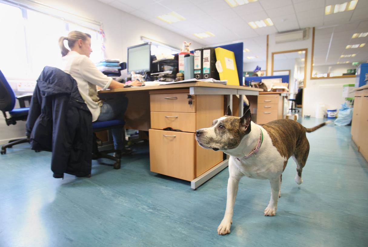 Vera patrolling the fundraising office at Battersea Dogs and Cats Home in London. Credit: PA