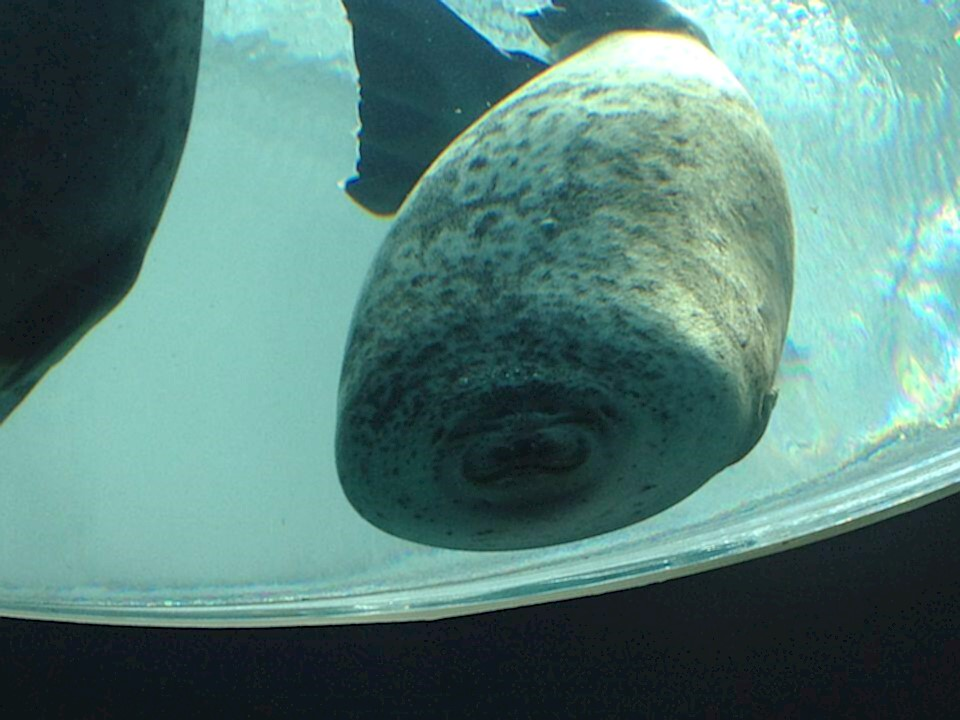This seal swam into the glass...