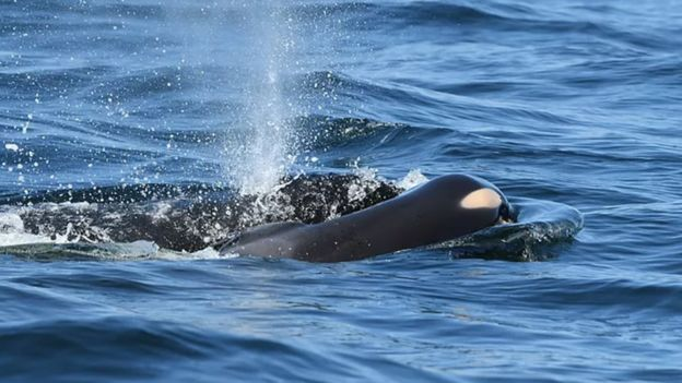 Mother orca pushes dead calf to the surface for two days