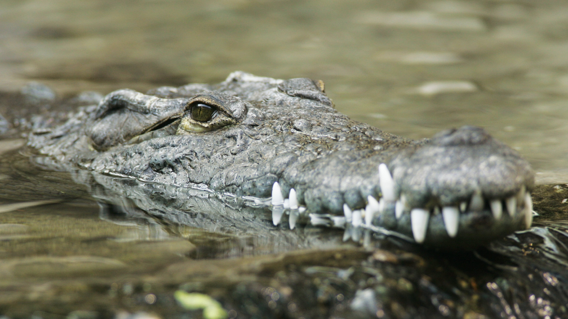 Tourists Can Pay £5,000 To Swim Alongside 12ft Long Nile Crocodiles
