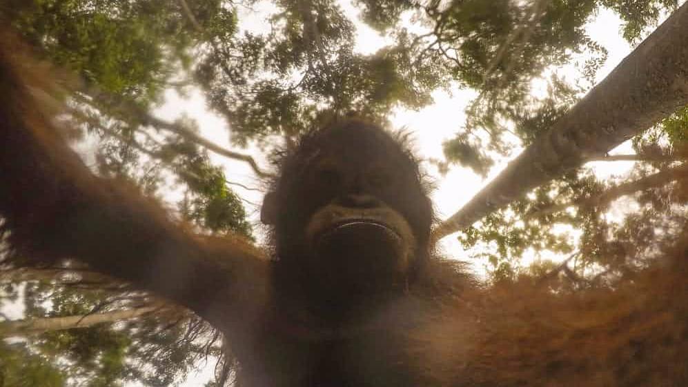 Orangutan Steals Photographer's GoPro, Takes Hundreds Of Selfies