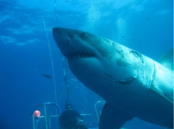 Divers' incredible encounter with largest great white shark ever recorded