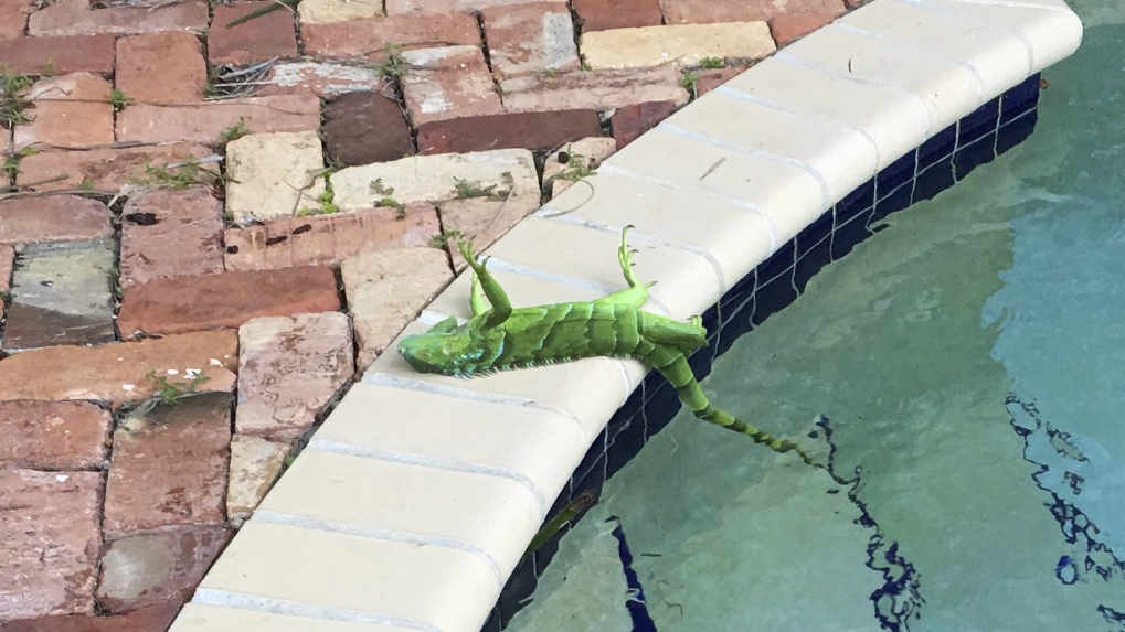 It's So Cold in Florida That Frozen Iguanas Are Actually Falling From The Trees