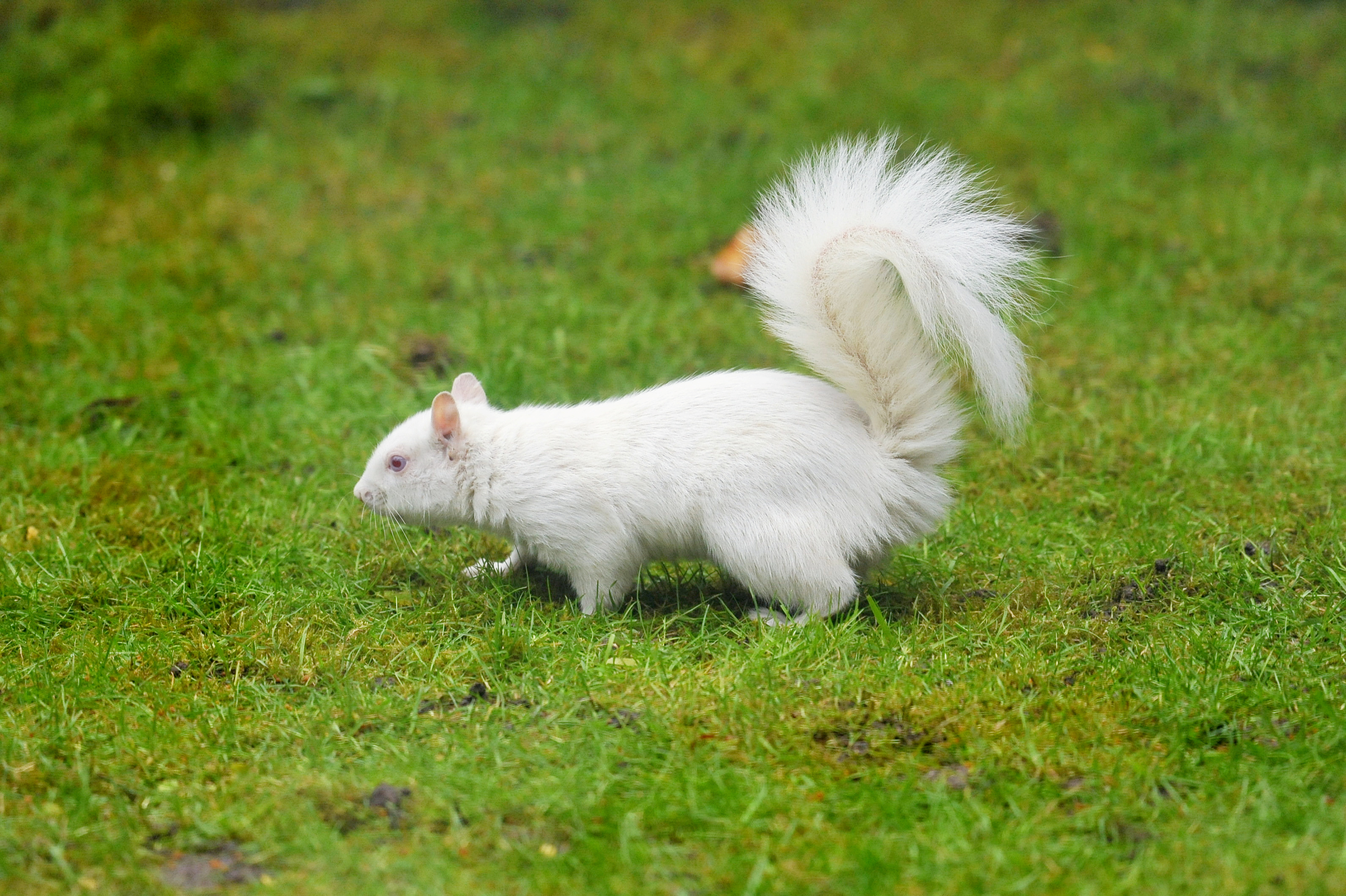 Pictures of a rare albino squirrel scavenging for food. Credit: SWNS