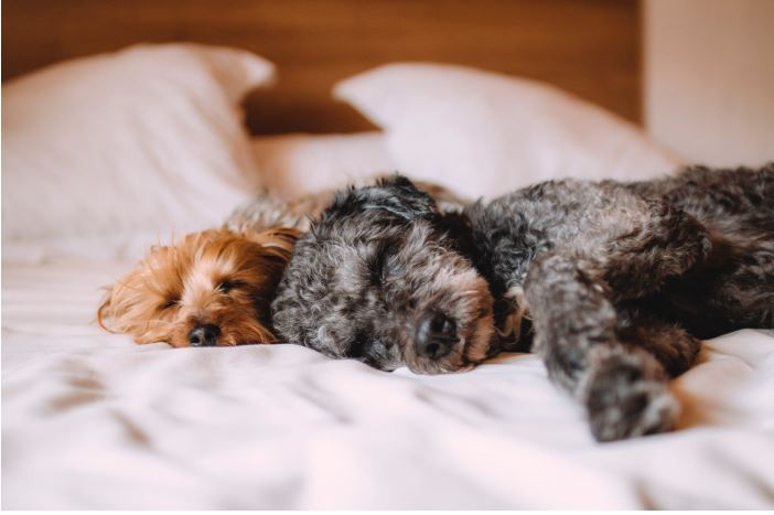 Letting your dog sleep on your bed might give you a better night's kip. Credit: Pexels