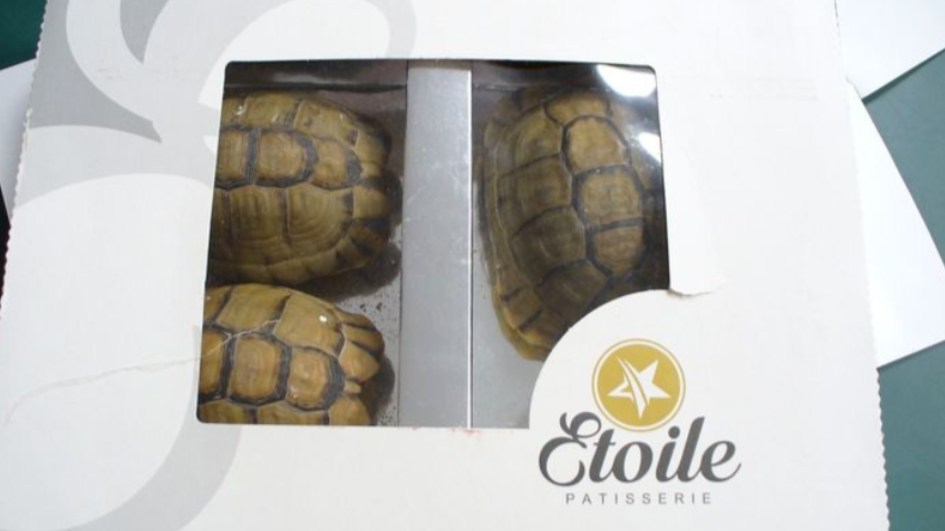 A man in Germany was caught trying to smuggle in tortoises disguised as pastries. Credit: Hauptzollamt Potsdam