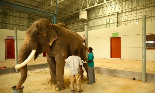 He is the first elephant to be treated at India's very first elephant hospital. Credit: Wildlife SOS