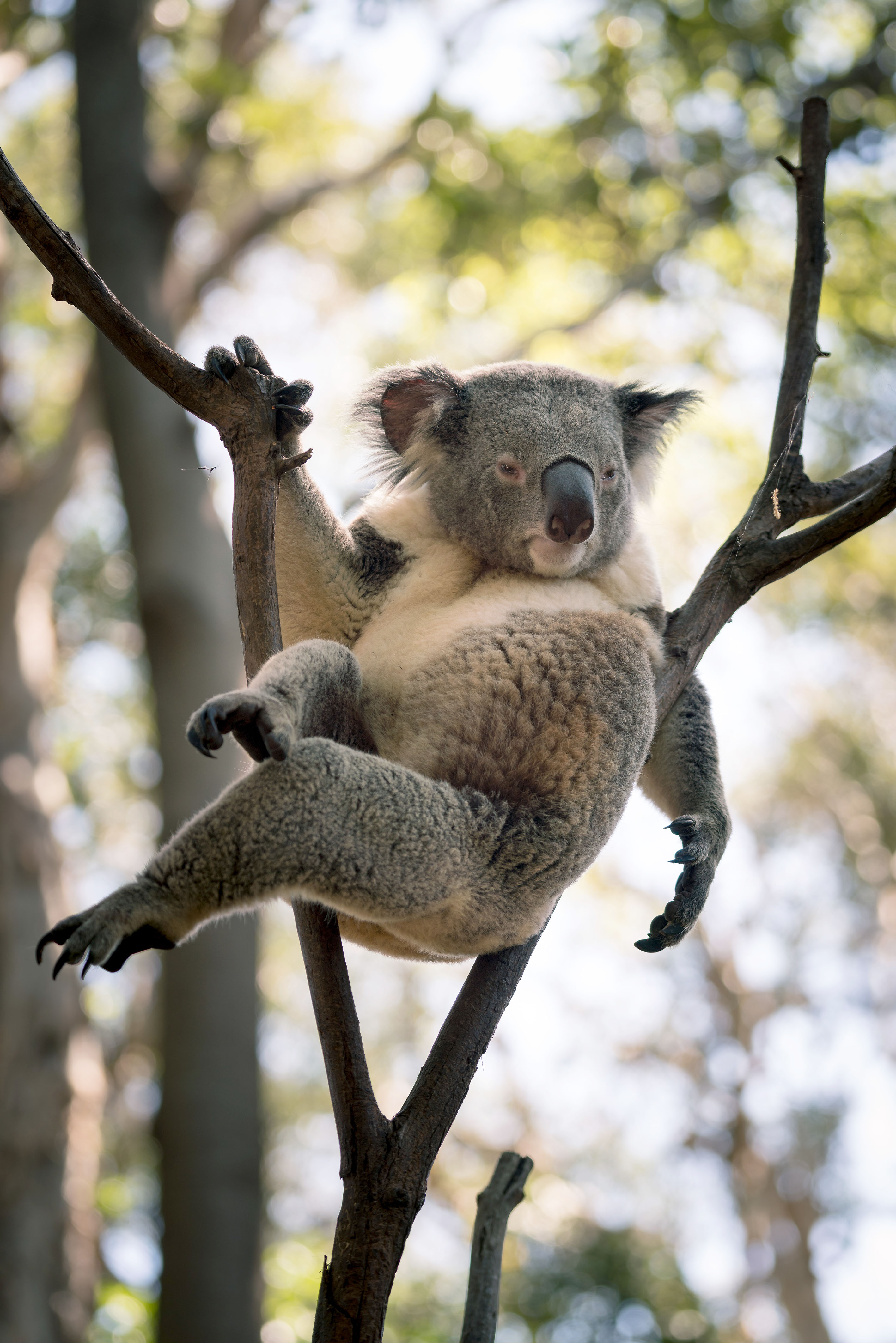 The koala was photographed relaxing in a tree. Credit: Caters