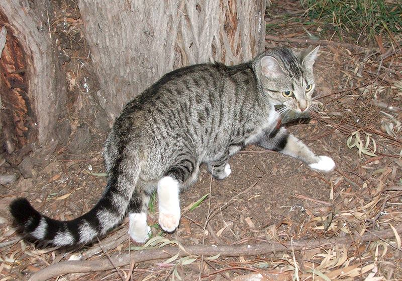The Reason Australia Wants To Kill Millions Of Cats