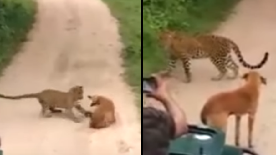 Fearless Dog Stands Up To Leopard After Attempted Attack In Forest