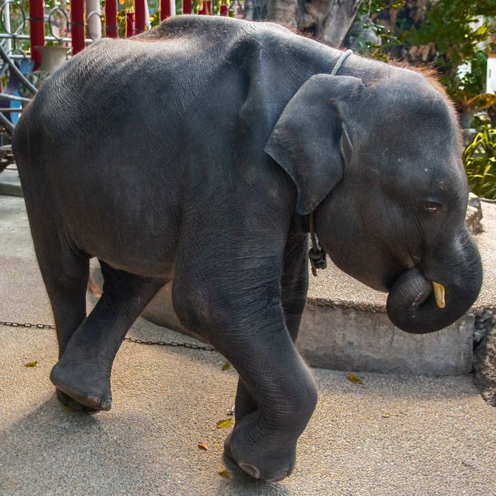 The little elephant was forced to dance at a zoo. Credit: Moving Animals