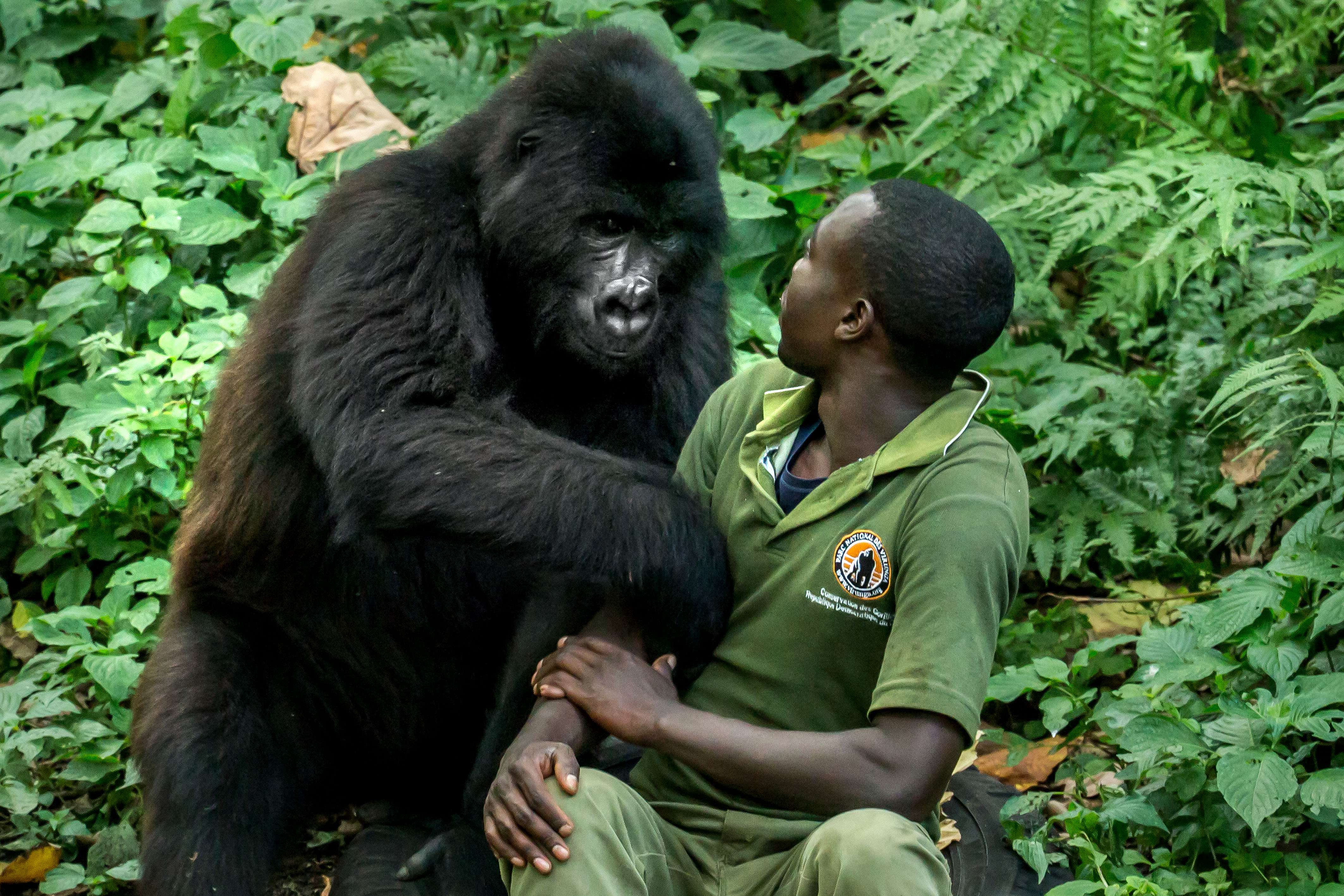 Gorilla hugging human caretaker