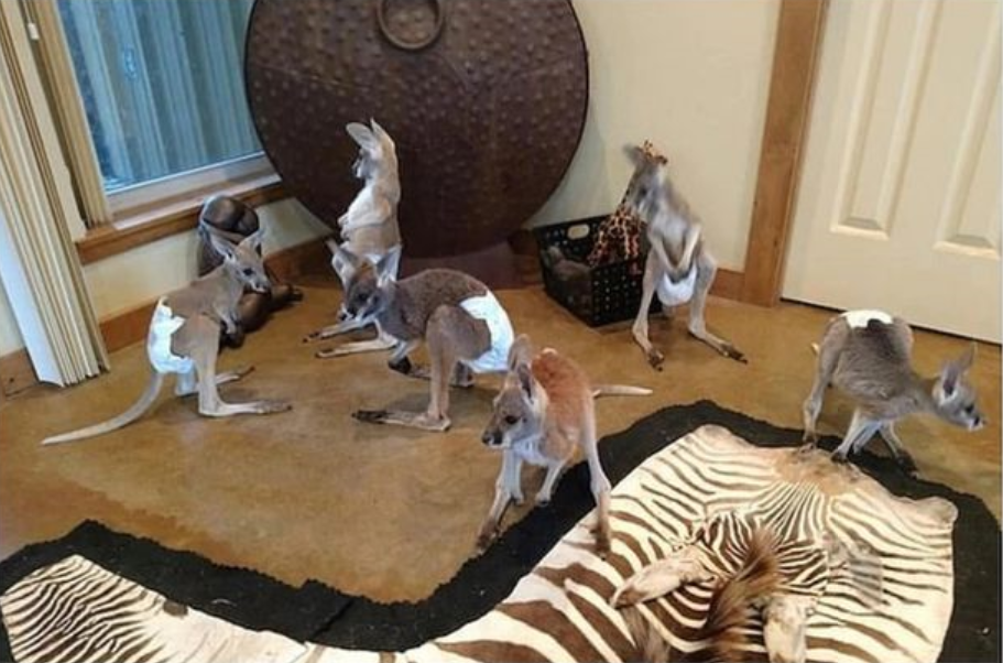 A woman in the US has been slammed after selling baby kangaroos on Facebook. Credit: Facebook