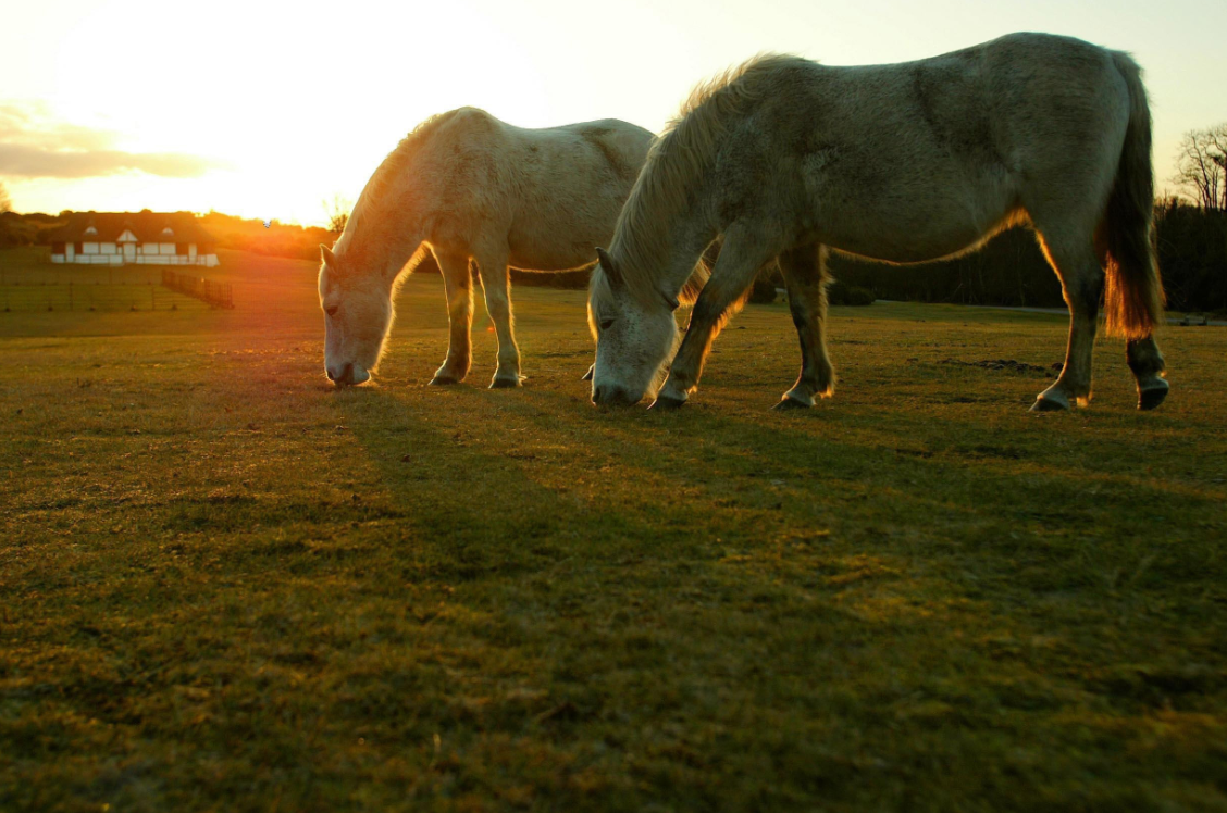 New Forest ponies are world-famous. Credit: PA