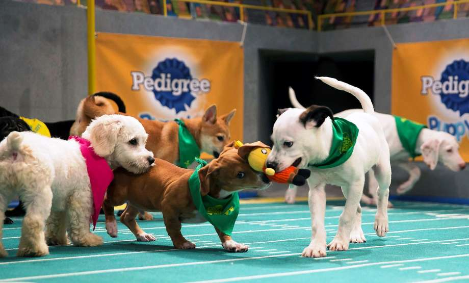 Pups compete to win the Most Valuable Puppy award. (Credit: Animal Planet)
