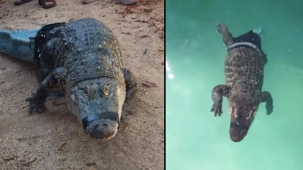 鳄鱼尾巴没有得到新的3 d印刷假肢