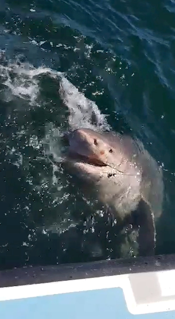 The shark weighed a whopping 85st. Credit: SWNS