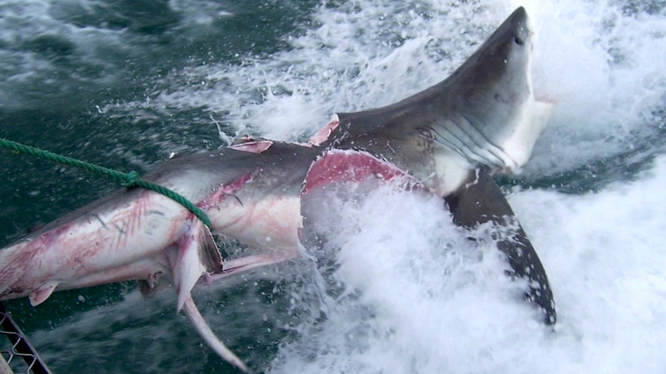 One of the sharks had two enormous bite marks. Credit: SWNS