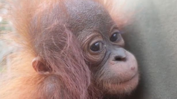Orphaned Baby Orangutan Hugs The Man Who Rescued Him