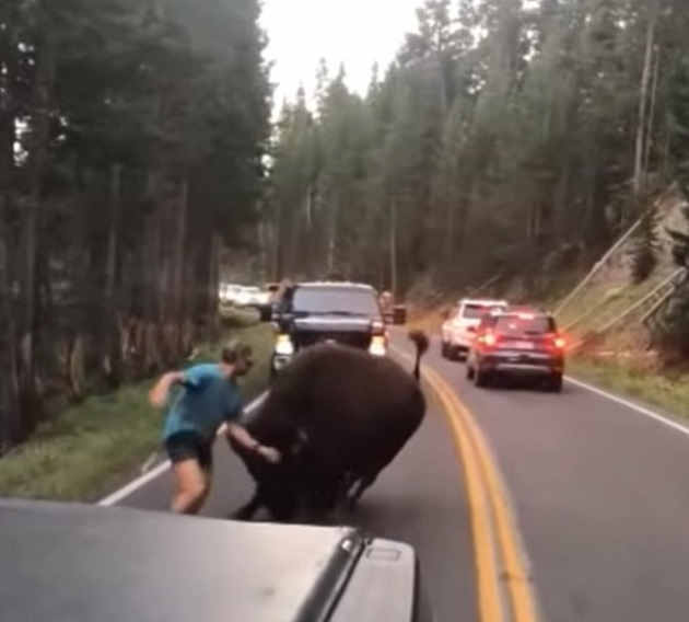 Bison charges at man in Yellowstone National Park in Facebook clip