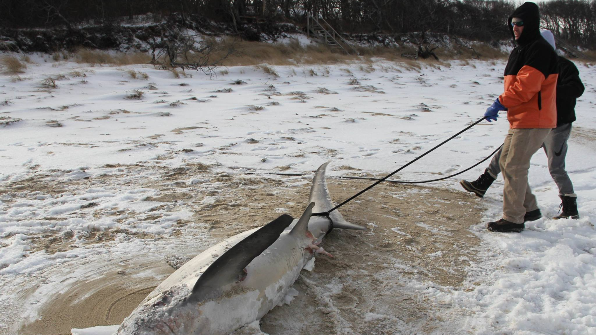 Sharks 'Freezing To Death' As Temperatures Drop In Cape Cod