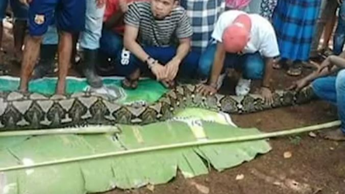 Mum Is Cut Out Of 27ft Python After She Was Eaten While Gardening