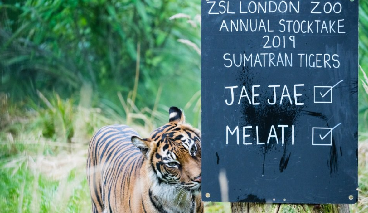 Melati in Tiger Territory. Credit: ZSL London