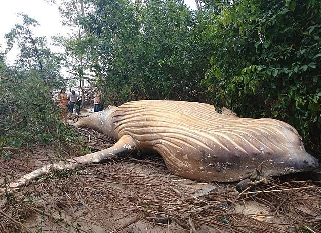 Whale carcass in Amazon stumps experts
